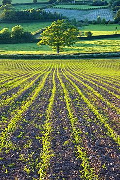 Summer crops growing in a field near Morchard Bishop, Crediton, Devon, England, United Kingdom, Europe