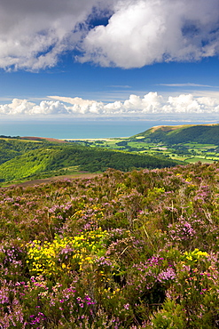 Flowering gorse and heather on Luccombe Hill, Exmoor National Park, Somerset, England, United Kingdom, Europe