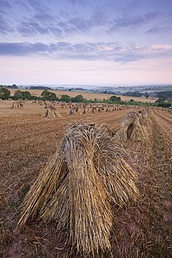 Corn stooks in a Devon field at dawn, Newbuildings, Devon, England, United Kingdom, Europe