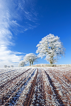 Hoar frosted farmland and trees in winter time, Bow, Mid Devon, England, United Kingdom, Europe