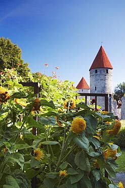 Sunflowers in garden outside Lower Town Wall, Tallinn, Estonia, Baltic States, Europe