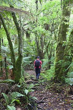 Man hiking through forest on Kauaeranga Kauri Trail, Thames, Coromandel Peninsula, Waikato, North Island, New Zealand, Pacific