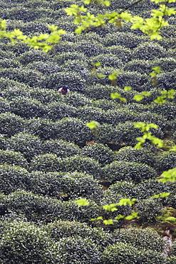 Woman picking tea, Longjing, Hangzhou, Zhejiang, China, Asia