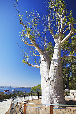 Boab tree in King's Park, Perth, Western Australia, Australia, Pacific