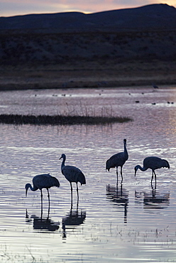 Greater sandhill cranes (Grus canadensis tabida) at sunset, Bosque del Apache National Wildlife Refuge, New Mexico, United States of America, North America