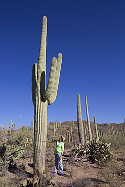 Saguaro Cactus (Camegiea Gigantea), West-Tucson Mountain District, Saguaro National Park, Arizona, United States of America, North America