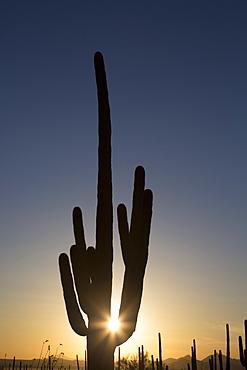 Saguaro Cactus (Camegiea Gigantea) silhouetted at sunset, West-Tucson Mountain District, Saguaro National Park, Arizona, United States of America, North America