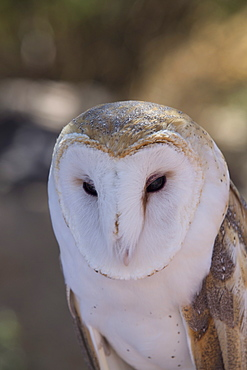 Close up of a common barn owl (Tyto Alba), West-Tucson Mountain District, Saguaro National Park, Arizona, United States of America, North America
