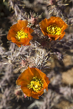Flowers of the Jumping Cholla cactus (Hanging Chain Cholla) (Cylindropuntia Fulgida), West-Tucson Mountain District, Saguaro National Park, Arizona, United States of America, North America