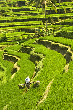 Rice terraces, with Balinese man in foreground working the terraces, near Tegallalang village, Bali, Indonesia, Southeast Asia, Asia