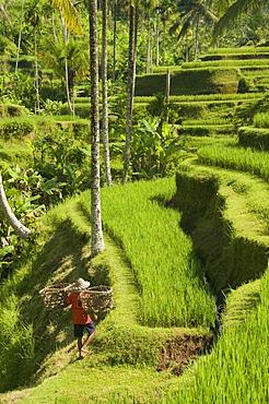 Rice terraces near Tegallalang Village, Bali, Indonesia, Southeast Asia, Asia