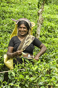 Picking tea the traditional way in the hill plantations around Kandy, Sri Lanka, Asia