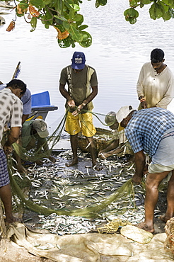 Local people sorting through the fish they have just caught in the port of Negombo, Sri Lanka, Asia