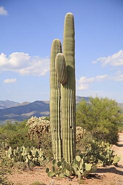 Saguaro cactus, Saguaro National Park, Rincon Mountain District, Tucson, Arizona, United States of America, North America