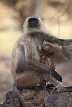 Langur monkey with baby, (Semnopithecus entellus), Ranthambore National Park, Rajasthan, India, Asia