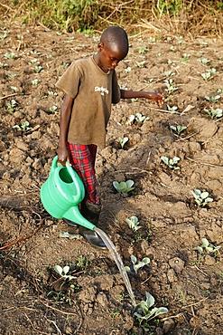Farmer's son watering a vegetable plantation, Uganda, Africa