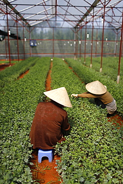 Women working in greenhouse on vegetable farm, Dalat, Vietnam, Indochina, Southeast Asia, Asia