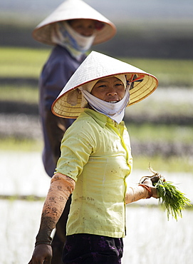 Women planting rice in paddy field, Vietnam, Indochina, Southeast Asia, Asia