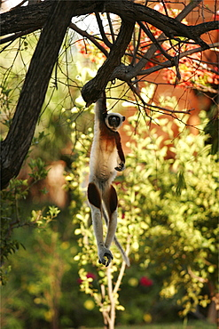 Verreaux's sifaka of the north forests, Madagascar, Africa