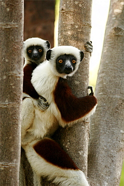 Verreaux's sifakas of the north forests, Madagascar, Africa