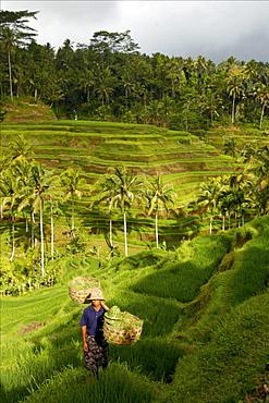 In the rice terraces of Kintamani, Bali, Indonesia, Southeast Asia, Asia