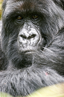 Male mountain gorilla in the Bwindi Forest close to the border with Rwanda and Congo, UNESCO World Heritage Site, Uganda, Africa