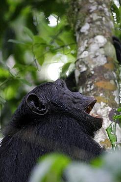 Chimpanzee in the Bwindi forest close to the borders of Congo and Rwanda, Uganda, Africa