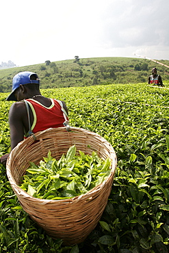 Young worker in a tea plantation near Kibale, in the west of the country, Uganda, East Africa, Africa