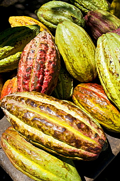 Chocolate fruits from a Theobroma cacao tree, Madagascar, Africa