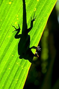 Little Gecko behind a illuminated palm leaf, Vallee de Mai, UNESCO World Heritage Site, Praslin, Seychelles, Africa