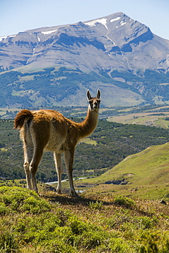 Guanaco (Lama Guanicoe), Torres del Paine National Park, Patagonia, Chile, South America