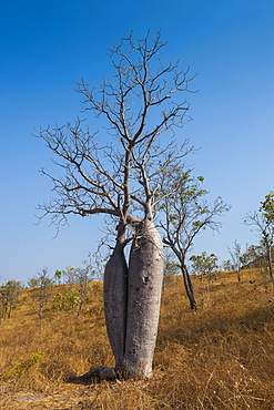 Couple baobab tree above the Grotto Gorge near Wyndham, Western Australia, Australia, Pacific