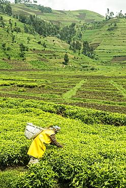 Worker picking tea on a Tea plantation in the Virunga mountains, Rwanda, Africa