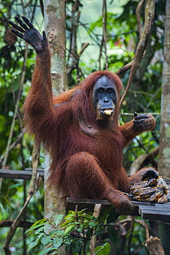 Feeding time for the Sumatran orangutan (Pongo abelii), Bukit Lawang Orang Utan Rehabilitation station, Sumatra, Indonesia, Southeast Asia, Asia
