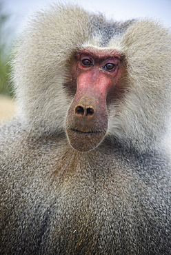 Hamadryas baboon (Papio hamadryas), along the road from Massawa to Asmara, Eritrea, Africa