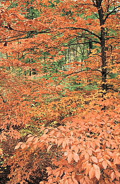 American Beech, Citico Creek, Cherokee National Forest, Tennessee, USA