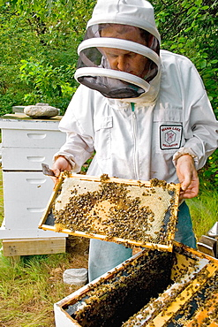 Beekeeper inspecting frame with worker bee brood (tight pattern in center indicates a quality queen)