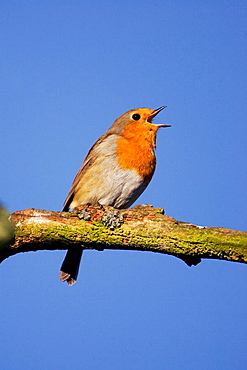 Robin (Erithacus rubecula) singing perched on branch, Scotland, UK.
