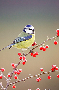 Blue Tit (Parus caeruleus) perched on red cotoneaster berries in frost, Scotland.