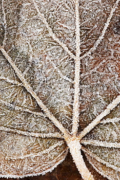 Close-up of frost covered leaf Scotland December