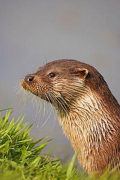 European Otter - Lutra lutra - close-up portrait on riverbank UK captive animal