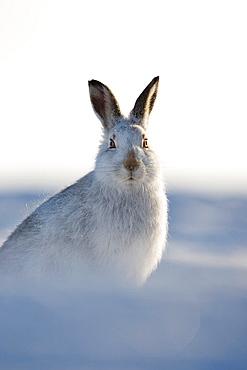 Mountain hare Lepus timidus portrait of adult in winter pelage coat Grampian mountains, Scotland January