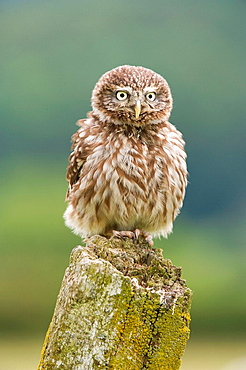 Little Owl Athene noctua adult perched on post captive-bred Wales, July 2009