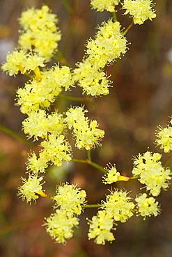 Naked Eriogonum blossoms detail (Eriogonum nudum), Douglas Co, Little River Rd., OR.