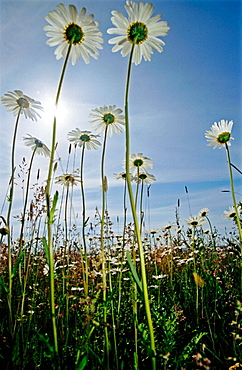 Ox eye daisy (Leucanthemum vulgare) flowers, Low perspective, sun, Odertal, Germany