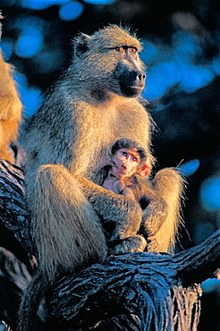 Chacma Baboons, (Papio ursinus), Kruger National Park, South Africa