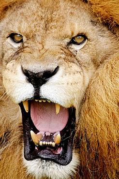 Arkansas, Eureka Springs, Turpentine Creek Wildlife Refuge, rescuing exotic wild cats, open habitat cage, lion, snarling,