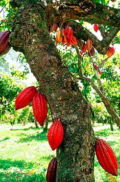 Cacao tree, Trinidad and Tobago
