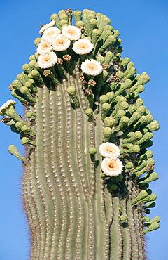 Flowering Saguaro Cactus (Carnegia gigantea), Arizona, USA