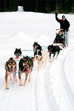 Sledge dogging, Kamloops, British Columbia, Canada